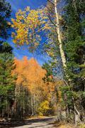 Aspen near Lake Tahoe - stock photo