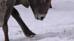 Bighorn Sheep Ram Flehmen Lip Curl in Breeding Season Stock Footage