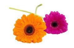 Gerbera flowers isolated Stock Photos