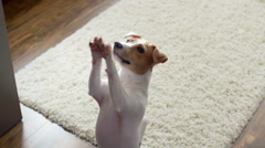 Cute puppy Jack Russell Terrier, very fun stands up on his hind legs and smiling Stock Footage