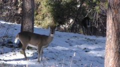 Alarmed White-tailed Deer in Snow in Forest Stock Footage