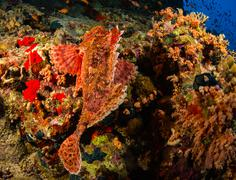 Tassled scorpionfish - stock photo