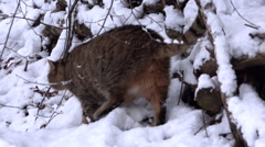 European wildcat running in snowy winter forest closeup Stock Footage
