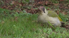 Green Woodpecker feeding on the ground Stock Footage