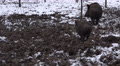 4k Wild boars running away muddy winter snow ground Footage