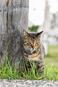tabby cat stands on the grass - stock photo