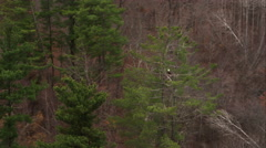 Bald Eagle perched in a pine tree north of New Haven, Connecticut. Shot in Stock Footage