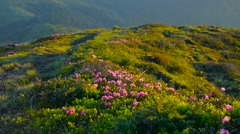 Wild flowers Rhododendron myrtifolium on summer mountain. Stock Footage