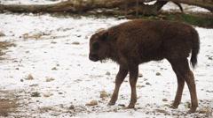 Bison in winter (Bison bonasus) Stock Footage