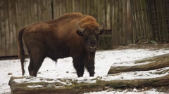 Bison in winter (Bison bonasus) Stock Footage