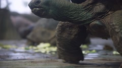 Biggest tortoise eat fresh vegetables Stock Footage