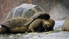 Tortoise eat vegetables Stock Footage