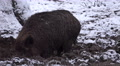 4k Wild boar closeup digging muddy winter snow ground Footage