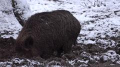 Stock Video Footage of 4k Wild boar closeup digging muddy winter snow ground