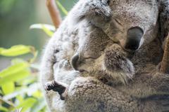 Mother and joey koala cuddling Stock Photos