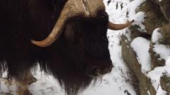 Muskox in winter (Ovibos moschatus) Stock Footage