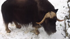 Muskox in winter (Ovibos moschatus) - stock footage