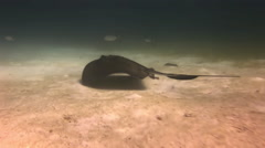 Stingray hovers above sea floor in search of food. Stock Footage