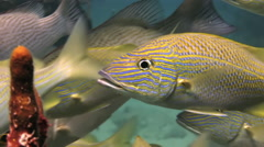 School yellow silver fish on reef search of food. Stock Footage