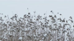 Winter dry grass in the marsh reeds snow lies nature Stock Footage