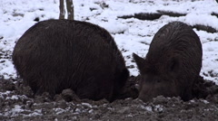 4k Wild boars closeup digging muddy winter snow ground Stock Footage