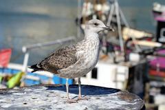 Juvenile European herring gull - stock photo