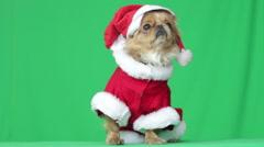 Pekingese puppy dressed as Santa Claus Stock Footage