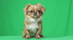 Funny puppy looking Stock Footage
