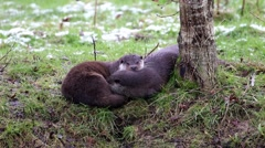 Otter Family Sleeping on Bank. In Winter. Light Snow on Grass. Stock Footage