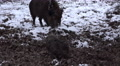 4k Cute wild boar piglet closeup digging winter snow Footage