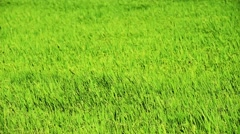Green young rice spike waving in the paddy field Stock Footage