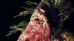 Common decorator crab (Schizophrys aspera) Stock Footage