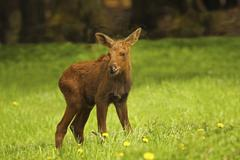 Moose Alces alces calf standing in the grass captive Sweden Scandinavia Europe - stock photo