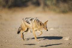 Blackbacked jackal Canis mesomelas sneaking Kgalagadi Transfrontier National - stock photo