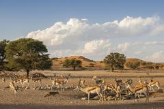 Springbok Antidorcas marsupialis herd at a waterhole Kgalagadi Transfrontier Stock Photos
