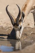 Springbok Antidorcas marsupialis drinking at the waterhole Kgalagadi Stock Photos