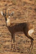 Steenbok Raphicerus campestris Kgalagadi Transfrontier National Park Northern Stock Photos