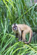 Tufted Capuchin Blackcapped Capuchin or Brown Capuchin Cebus apella in a palm - stock photo