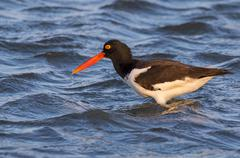 American oystercatcher Haematopus palliatus in the ocean Galveston Texas USA - stock photo