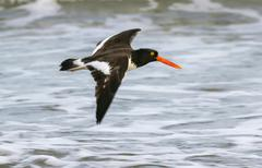 American oystercatcher Haematopus palliatus flying along the ocean Galveston - stock photo