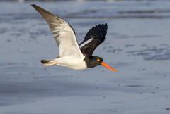 American oystercatcher Haematopus palliatus flying along the ocean Galveston Stock Photos