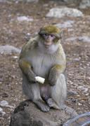 Barbary macaque also Barbary ape or magot Macaca sylvanus Azrou Stock Photos