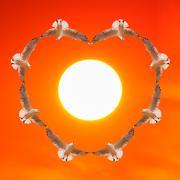 Birds flying as heart shape at sunset. Kuvituskuvat