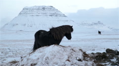 Black Icelandic horses looking grazing walking Kirkjufell mountain winter Stock Footage