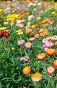 Helichrysum bracteatum blooming in garden - stock photo