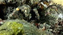 Spider decorator crab (Camposcia retusa) Stock Footage