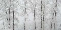 Snow falling on slender leafless trees in a grove Stock Footage