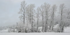 Snow falling on slender leafless trees in front of a young evergreen forest Stock Footage
