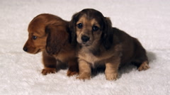 Two long-haired dachshund puppies nuzzle each other Stock Footage