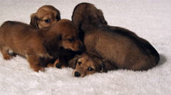 A litter of dachshund puppies snuggle on a rug - stock footage